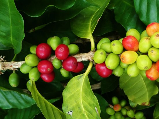 red and green coffee berries on coffee bush