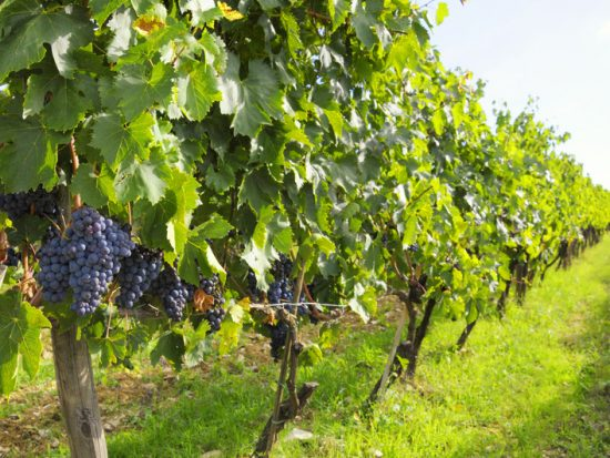 Vineyards with red grape variety